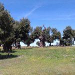 Alcornoques en Valdelosa