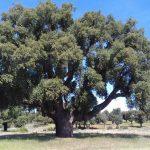 Alcornoque en Valdelosa